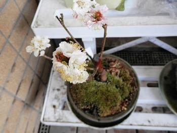 130303盆栽(梅).jpg