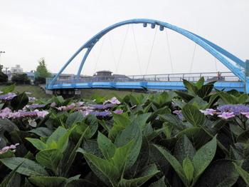 ふれあい橋と紫陽花2.jpg