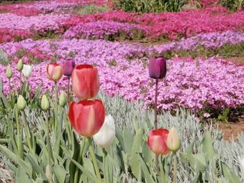 チューリップと芝桜.jpg