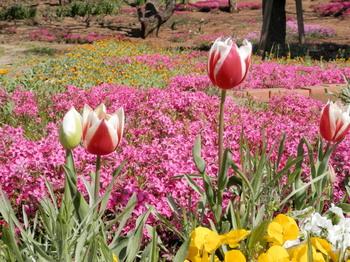 チューリップと芝桜と….jpg