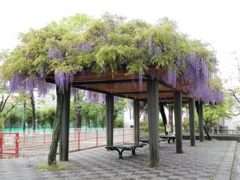 亀戸中央公園(藤).jpg