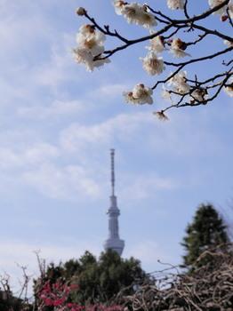 向島百花園(梅とスカイツリー).jpg
