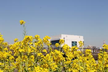 墨堤通りの菜の花.JPG