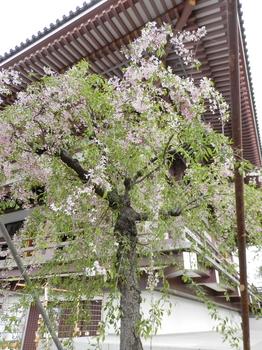 大本堂と枝垂れ桜.JPG