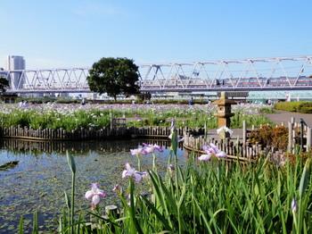 小岩菖蒲園(紫陽花4).jpg