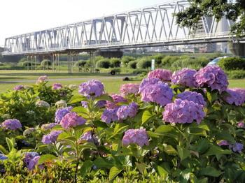 小岩菖蒲園(紫陽花).jpg