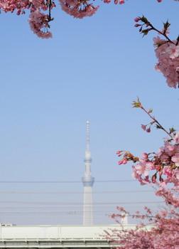 旧中川(スカイツリーと河津桜).jpg
