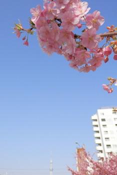 旧中川(河津桜).jpg