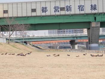旧中川(陽だまりのカモたち).jpg