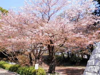 桜(ソメイヨシノ).jpg