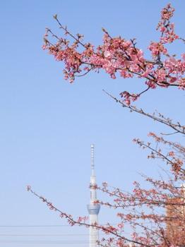 河津桜とスカイツリー2.jpg