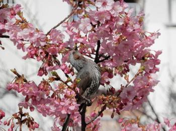 河津桜とヒヨドリ1.jpg