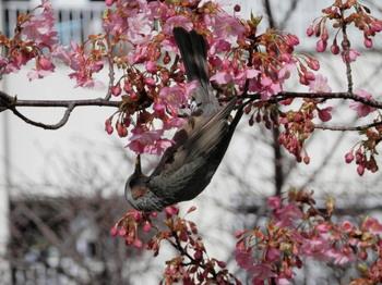 河津桜とヒヨドリ2.jpg