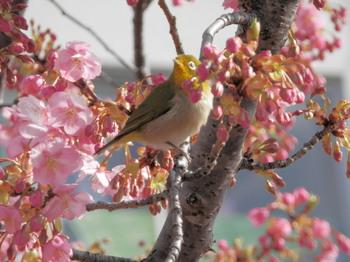 河津桜とメジロ1.jpg