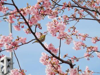 河津桜とメジロ2.jpg