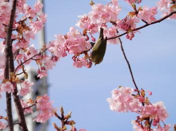 河津桜とメジロ3.jpg