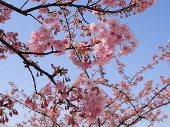 河津桜と青空.jpg