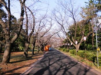 満開の桜3.jpg