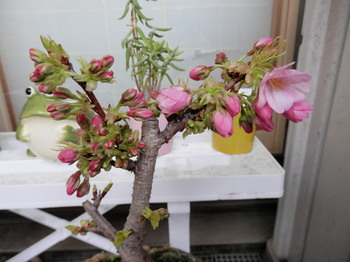盆栽(一寸桜).jpg