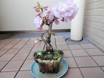 盆栽(満開の一寸桜).jpg