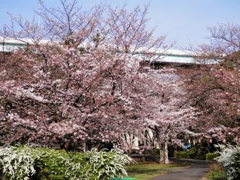 辰巳緑道公園の桜2.jpg
