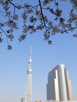 隅田公園の桜とスカイツリー.jpg